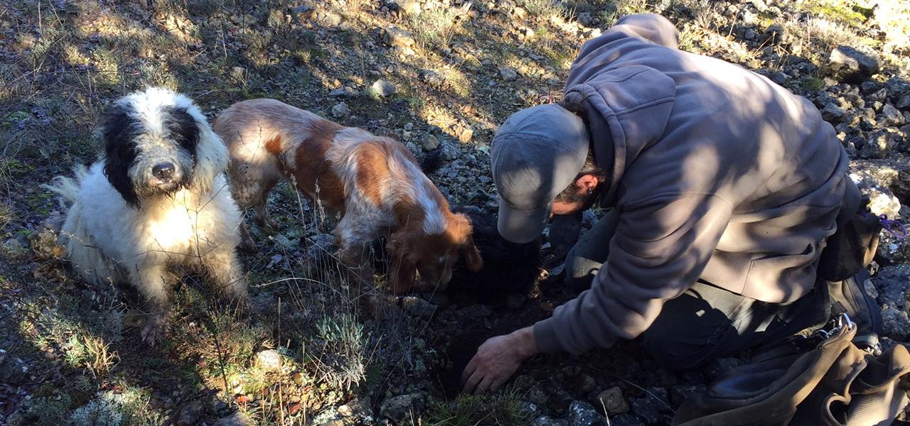 Descubre la trufa buscando trufa negra con perros